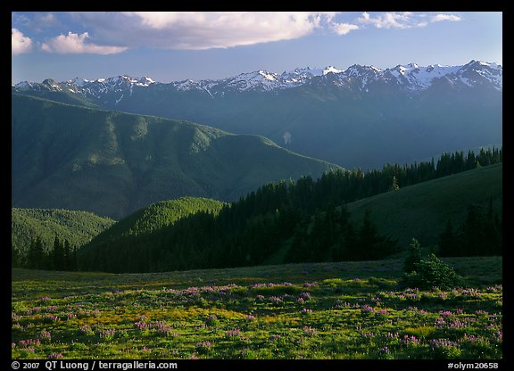 Meadow with wildflowers, ridges, and Olympic Mountains. Olympic National Park (color)