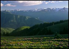 Meadow with wildflowers, ridges, and Olympic Mountains. Olympic National Park, Washington, USA.