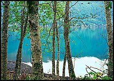 Birch trees with textured trunks and green leaves on shore of Crescent Lake. Olympic National Park, Washington, USA.