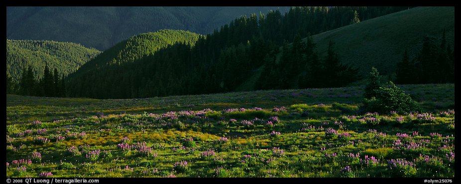 Shadows and wildflowers, late afternoon. Olympic National Park (color)