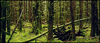 Mossy rainforest. Olympic National Park (Panoramic color)