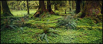 Rainforest forest floor. Olympic National Park (Panoramic color)