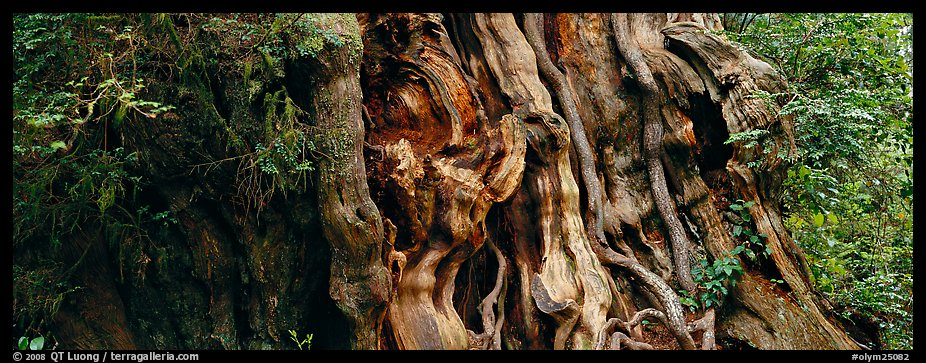 Ancient Cedar trunk. Olympic National Park (color)
