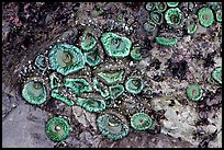Green anemones on rock at low tide. Olympic National Park ( color)