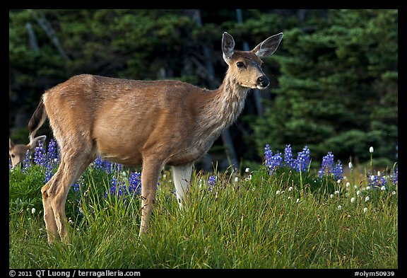 Deer in meadow with lupine. Olympic National Park (color)