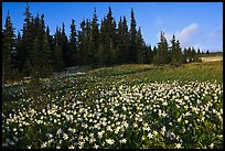 Avalanche lilies in meadow. Olympic National Park, Washington, USA. (color)