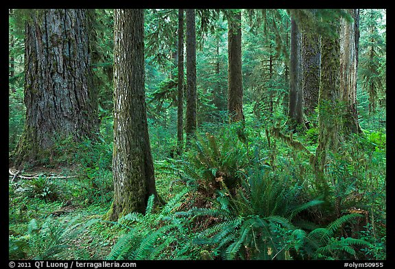 Ferns and trees, Hoh rain forest. Olympic National Park (color)