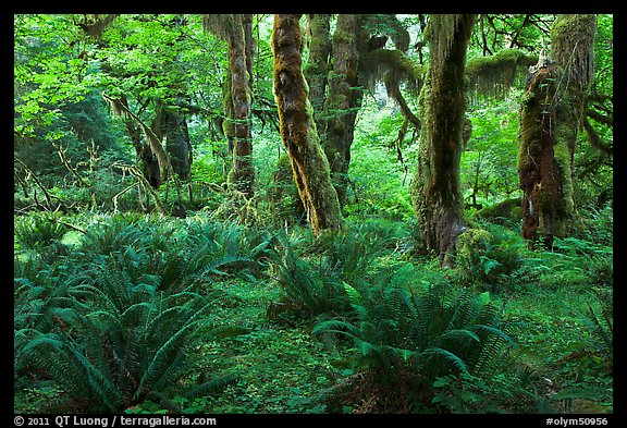 Grove of maple trees covered with epiphytic spikemoss. Olympic National Park (color)
