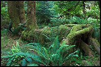 Tree falling on fallen tree, Hoh rainforest. Olympic National Park, Washington, USA. (color)