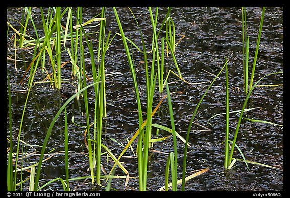 Grasses and black pond water. Olympic National Park (color)
