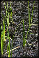 Reeds and stagnant water. Olympic National Park, Washington, USA. (color)