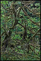 Trees and mosses, Hoh rainforest. Olympic National Park, Washington, USA. (color)