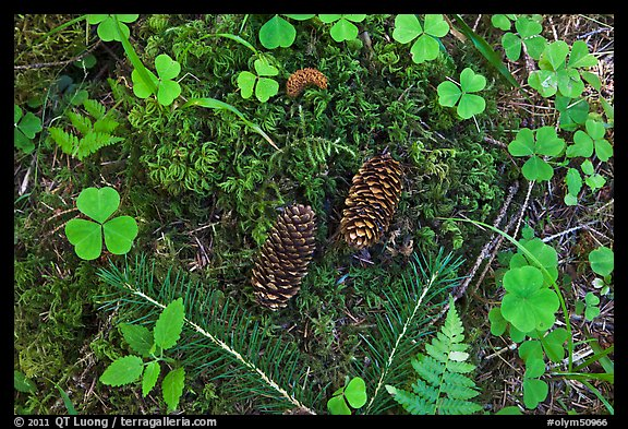 Forest floor, Hoh rain forest. Olympic National Park (color)