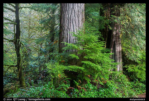 Forest, July Creek,. Olympic National Park (color)