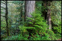 Forest, July Creek,. Olympic National Park ( color)
