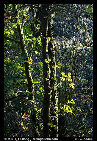 Backlit maple trees, July Creek. Olympic National Park (color)