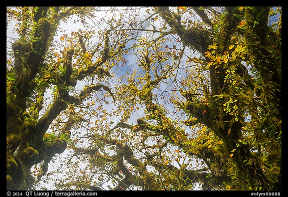 Looking up moss-covered branches and yellow leaves of big leaf maple trees. Olympic National Park (color)