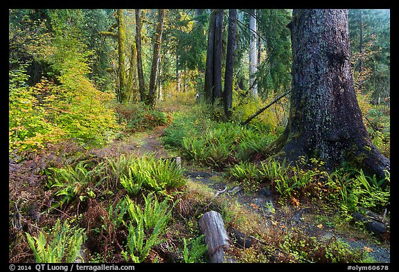 Irely Lake Trail in autumn, North Fork. Olympic National Park (color)