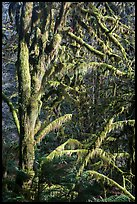 Moss-covered tree and light, Lake Quinault North Shore. Olympic National Park ( color)