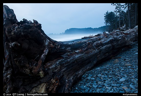 Driftwood tree at dusk, Rialto Beach. Olympic National Park (color)