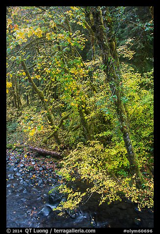 Trees and stream, Sol Duc. Olympic National Park (color)