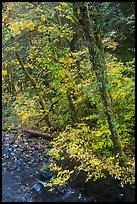 Trees and stream, Sol Duc. Olympic National Park ( color)