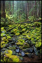Stream, mossy boulders, and old growth forest, Sol Duc. Olympic National Park ( color)