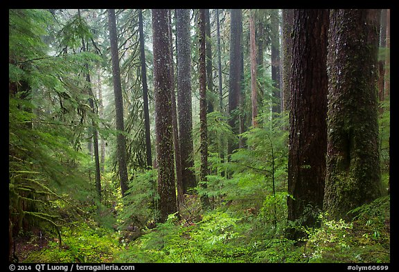 Douglas fir and hemlock forest, Sol Duc valley. Olympic National Park (color)