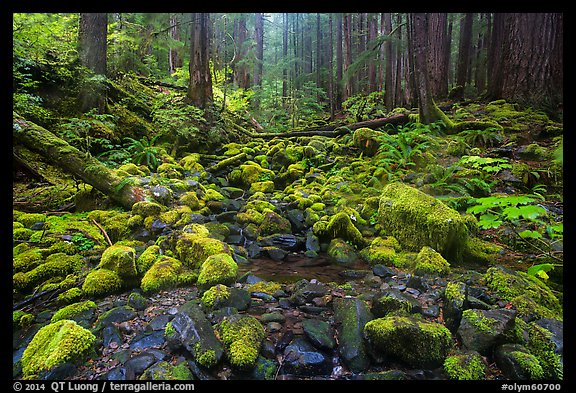 Stream flowing between mossy boulders in old growth forest. Olympic National Park (color)