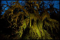 Draping club moss over big leaf maple at night, Hall of Mosses. Olympic National Park ( color)