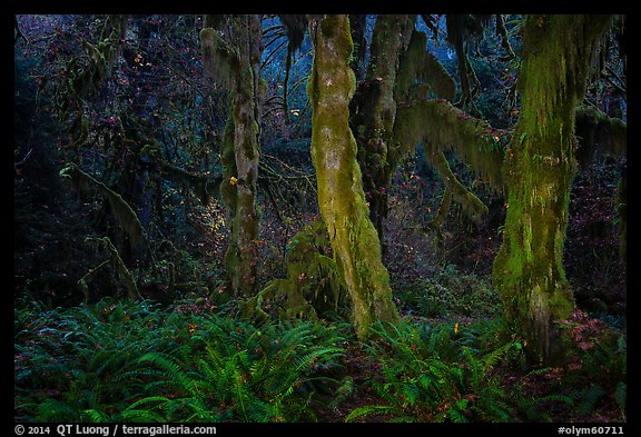 Maple grove at night, Hall of Mosses. Olympic National Park (color)