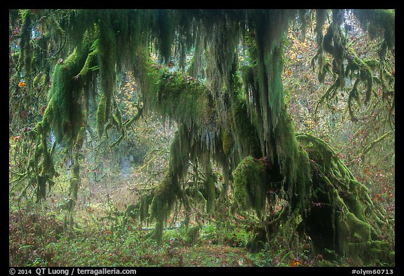 Club moss draping big leaf maple tree, Hall of Mosses. Olympic National Park (color)