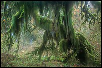 Club moss draping big leaf maple tree, Hall of Mosses. Olympic National Park ( color)