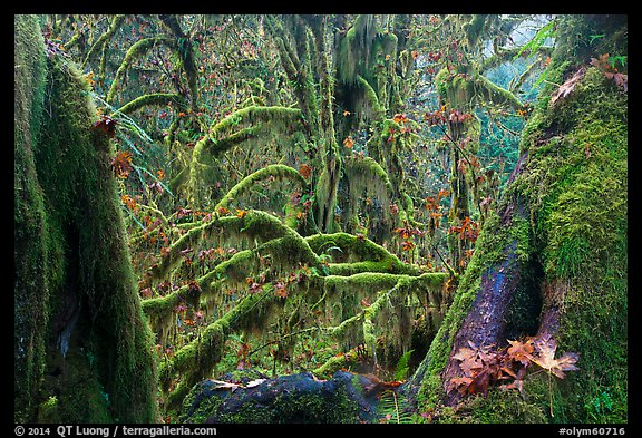 Moss-covered maple trees and fallen leaves in autumn, Hall of Mosses. Olympic National Park (color)