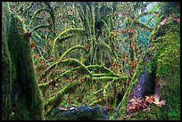 Moss-covered maple trees and fallen leaves in autumn, Hall of Mosses. Olympic National Park ( color)