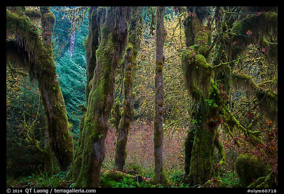 Hoh Rain Forest in autumn. Olympic National Park (color)