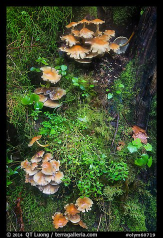 Close-up of mushrooms and mosses on tree trunk. Olympic National Park (color)