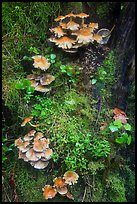 Close-up of mushrooms and mosses on tree trunk. Olympic National Park ( color)