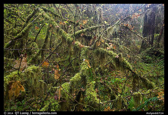 Moss-covered branches, Hoh Rain Forest. Olympic National Park (color)