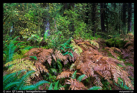 Ferns in autumn, Hoh Rain Forest. Olympic National Park (color)