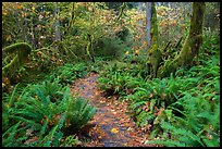 Trail in autumn Hoh Rain Forest. Olympic National Park ( color)