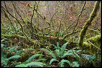 Ferns and thin branches, Hoh Rain Forest. Olympic National Park ( color)