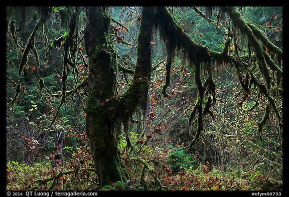 Moss-covered trees and rain forest with autumn foliage. Olympic National Park (color)