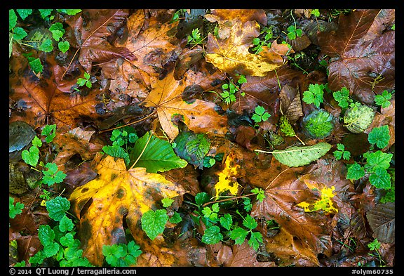 Forest floor with fallen leaves and clover, Quinault. Olympic National Park (color)