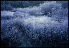 Grasses and shrubs with early morning frost. Pinnacles National Park, California, USA.