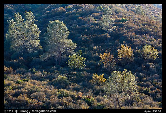 Trees on rolling chaparral shrubs. Pinnacles National Monument, California, USA (color)