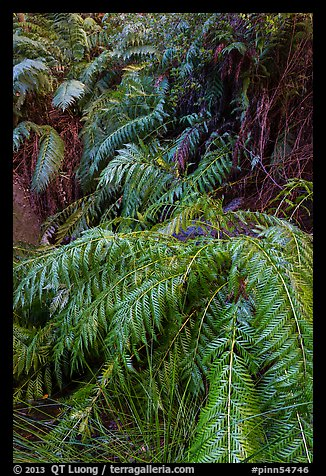 Ferns below Moses Spring. Pinnacles National Park (color)