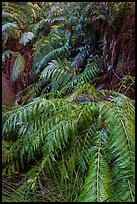 Ferns below Moses Spring. Pinnacles National Park ( color)