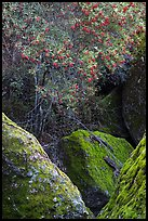 Toyon tree with red berries, Bear Gulch. Pinnacles National Park, California, USA. (color)