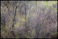 Bare branches and new leaves in spring. Pinnacles National Park ( color)